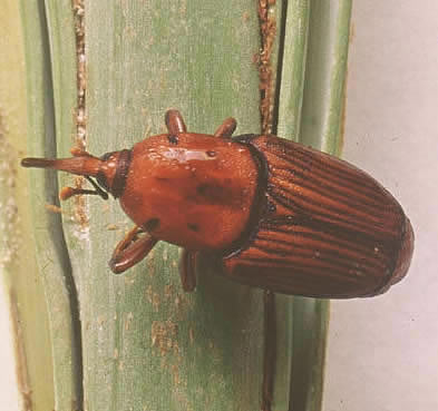 red palm weevil